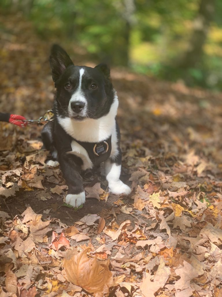 black and white cardigan welsh corgi