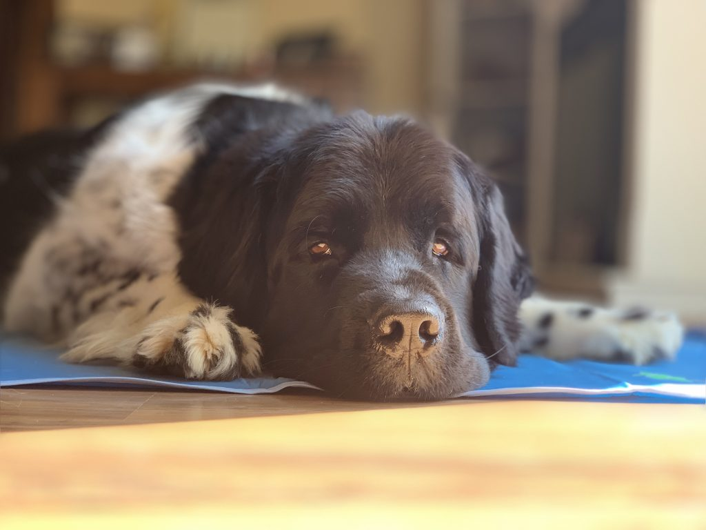 landseer newfoundland sleeping on cooling pad