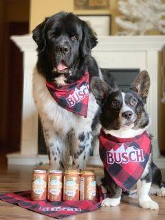 landsser newfoundland and corgi pose with dog brew by busch