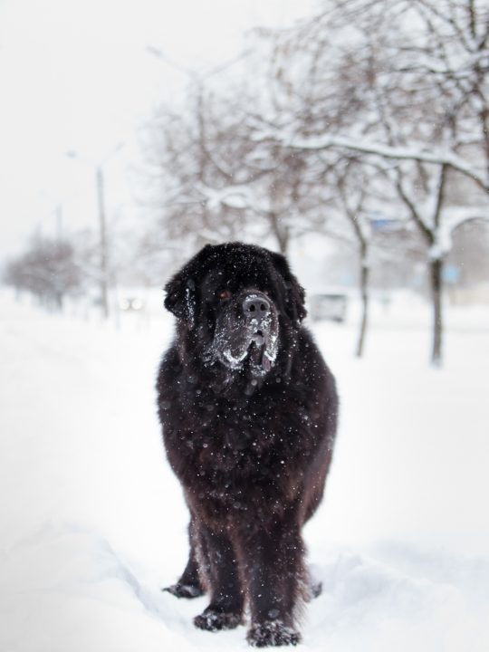 some dogs with underlying health issues may vomit or get diarrhea when they eat snow