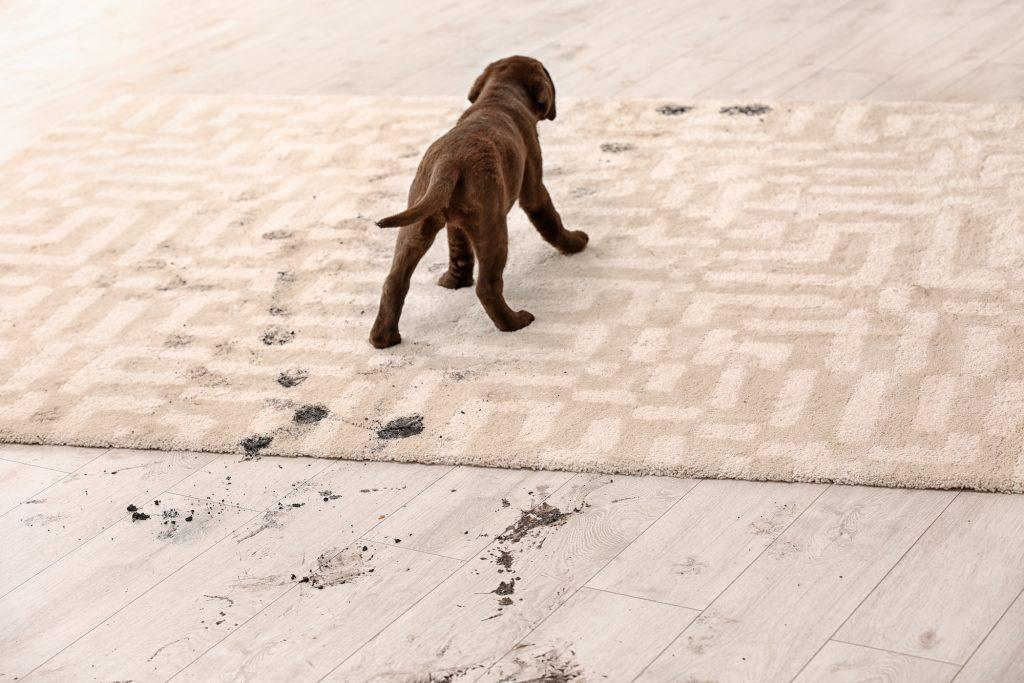 cute dog leaving muddy prints on floor and rug