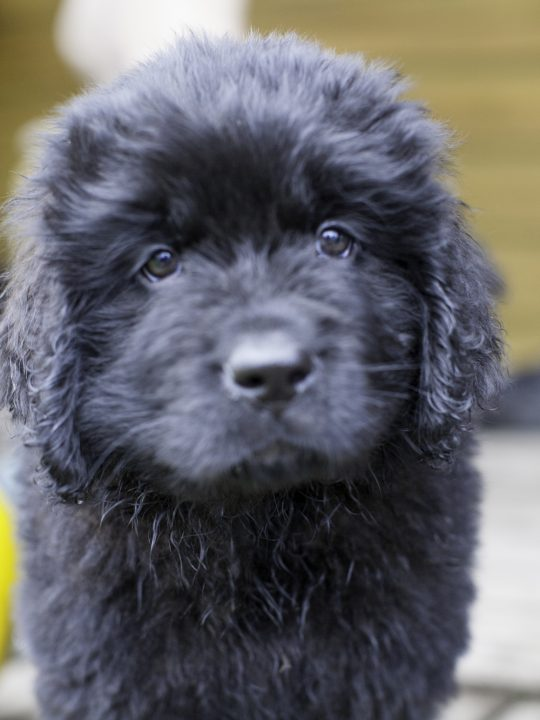 black newfoundland puppy scam