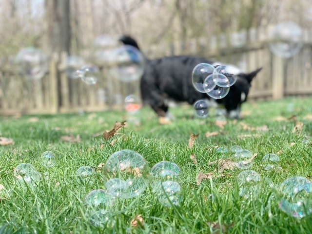 small dog playing with bubbles in the grass