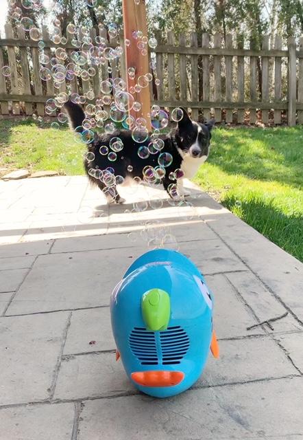 corgi playing with a bubble machine