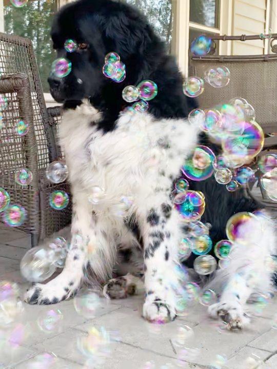 newfoundland dog with bubbles floating