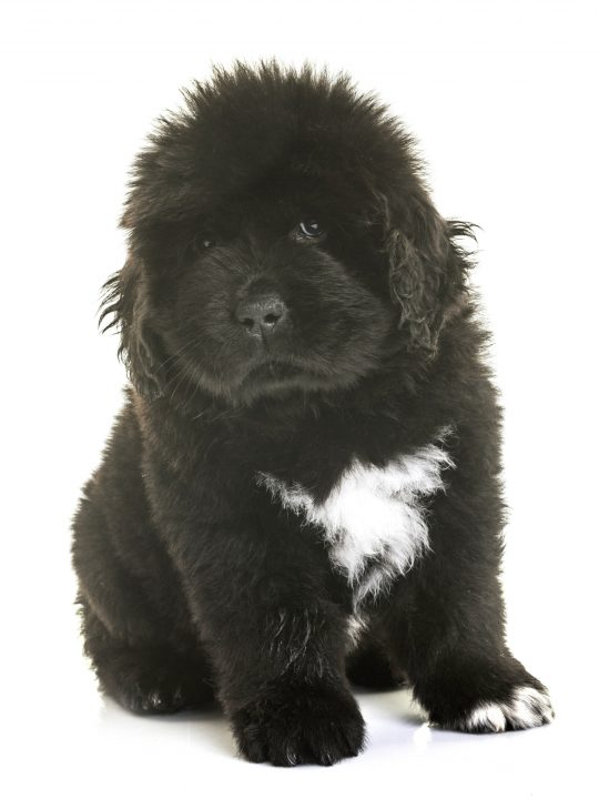 black newfoundland puppy with white spot on chest