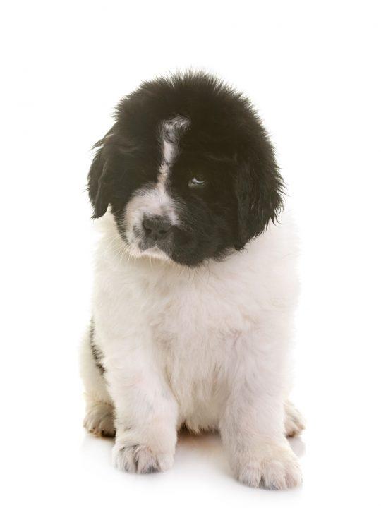 landseer newfoundland puppy sitting