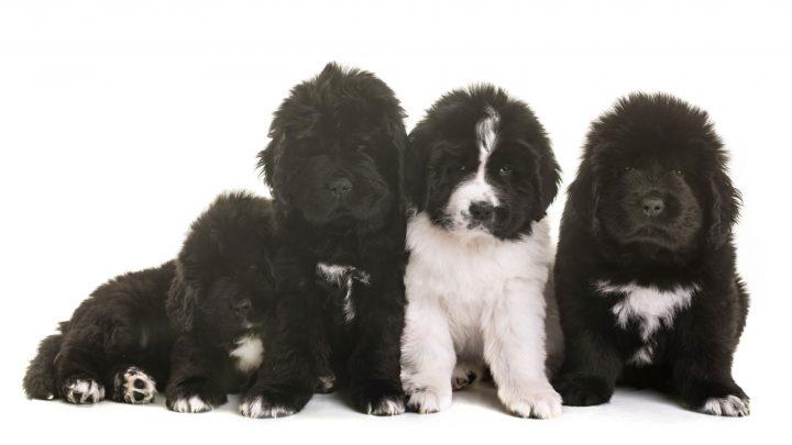 black and landseer newfoundland puppies