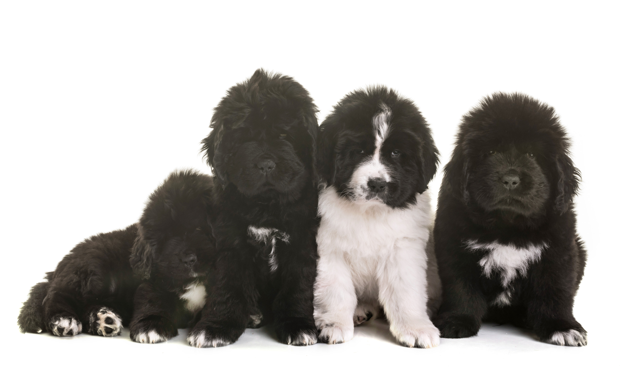 black and landseer newfoundland puppies